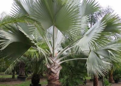 Bizmark palm (2)