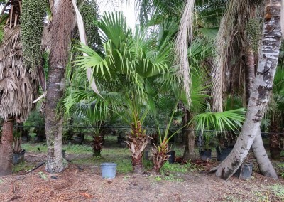 Cinese fan palm- slow growing