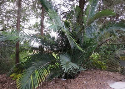 Dwarf sugar palm- great for privacy