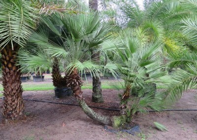 European fan palm4