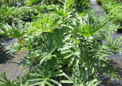 Philadendron Selloum