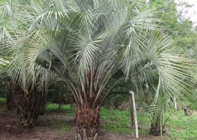 Pindo palm (4)