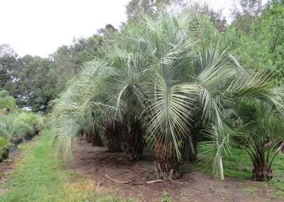 Pindo palm2