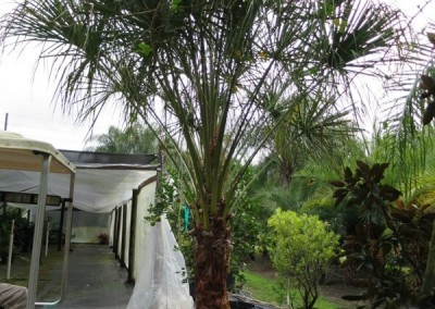 Ribbon palm- slow growing-hardy