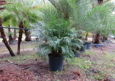 Robilinni palm (2)