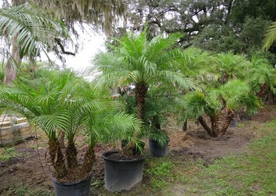 Robilinni palm (3)