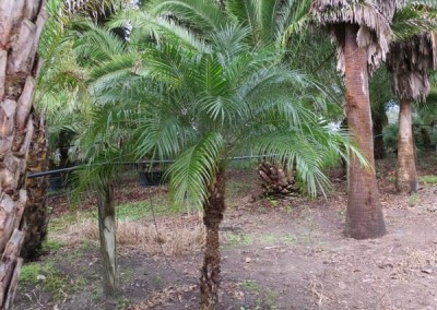 Robilinni palm (4)