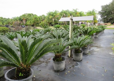 Sago palms- slow growing