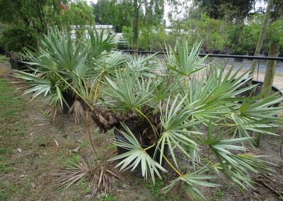 Silver saw palmetto- butterfly host- slow growing- native