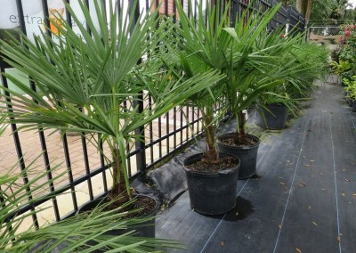 Windmill palm- slow growing- hardy