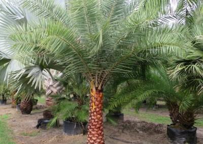 sylvester palm