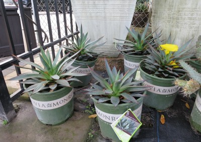 Agave- assorted varieties- full sun