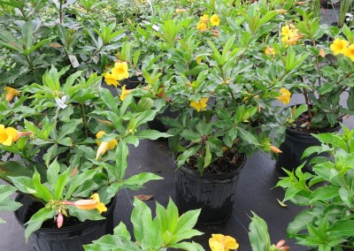 Allamanda-blooms spring summer fall-root hardy-fast growing-full sun