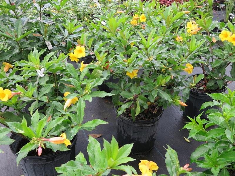 Shrubs terrascape allamanda blooms spring summer fall root hardy fast growing full sun mightylinksfo