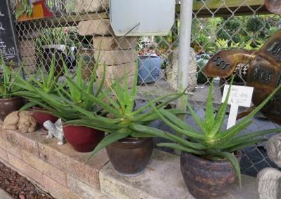 Aloe vera- edible- medicinal