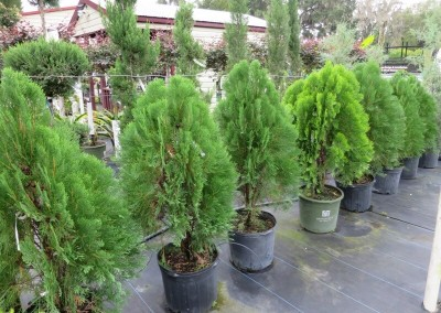Arborvite- evergreen