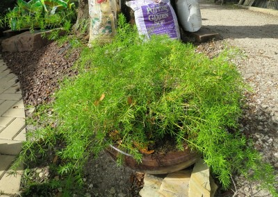 Asparagus fern-sun or shade-drought tollerant
