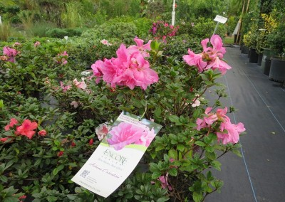 Azalea encore. blooms 4 times a year-assorted colors and growing habbits
