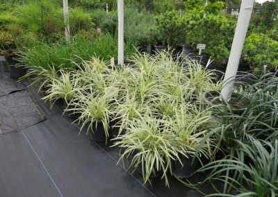 Aztec grass-low growin-sun or shade-hardy