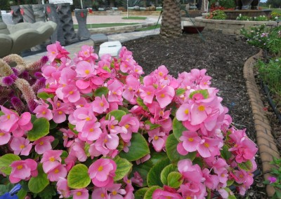 Begonia-assorted colors available - part sun