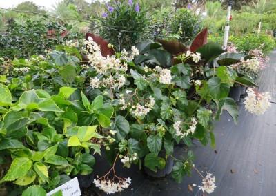 Begonia odorata- shade lover