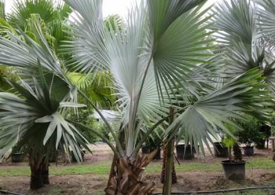 Bizmarck palm