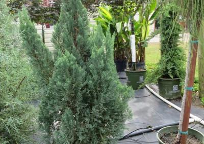 Blue point juniper- evergreen