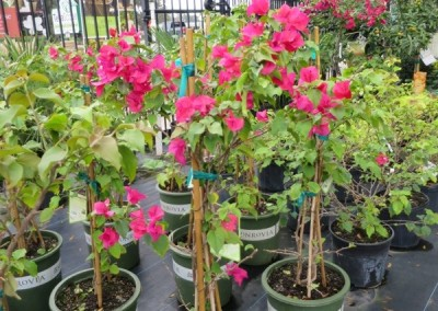 Bougainvillia- assorted colors- full sun