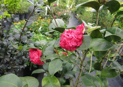 Camellia japonica assorted colors and growth habits. shade lover- evergreen-slow growing-blooms in winter