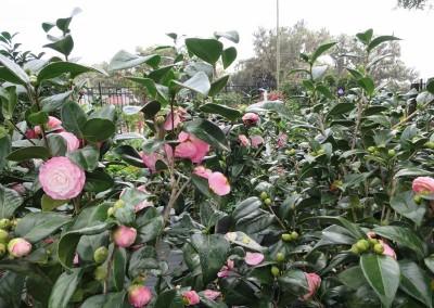 Camellia sasanqua (2)