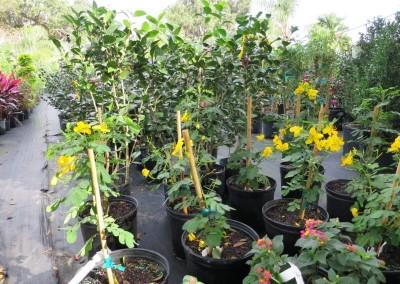 Cassia Tree- fall flowers