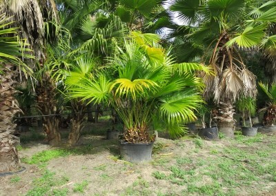 Chinese fan palm (2)