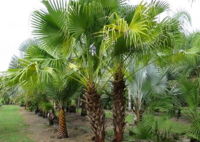 Chinese fan palm2