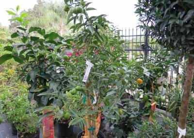 Citrus- assorted varieties- edible