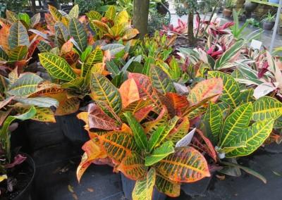 Croton petra- full sun