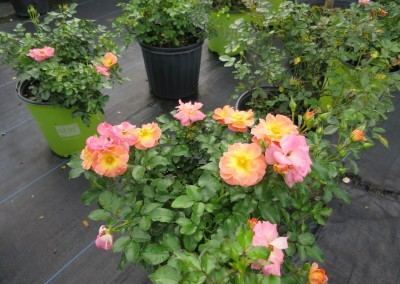 Drift rose apricot-assorted colors-hardy-continuous color-2-3'