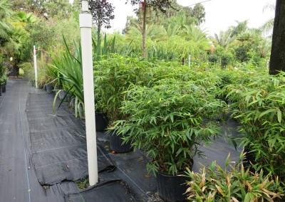 Dwarf bamboo (2)