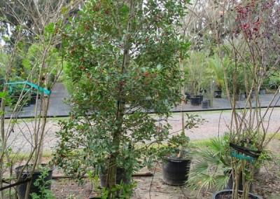 East palatka holly- native- evergreen