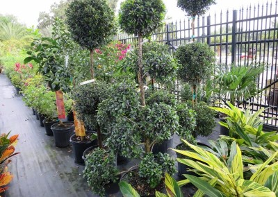 Eugenia topiary- assorted shapes and sizes