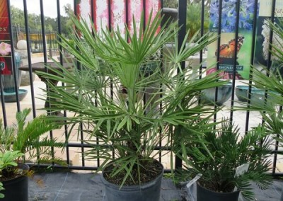 European fan palm (2)