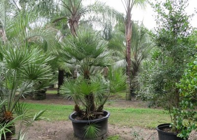 European fan palm (3)