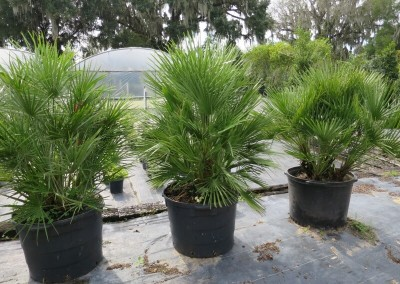 European fan palm- hardy-slow growing