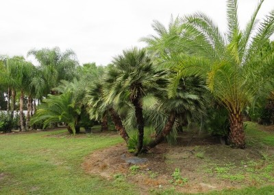 European fan palm3