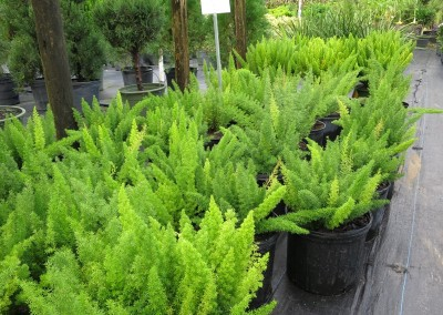 Foxtail Fern-hardy-low growing2-3'. sun or shade.