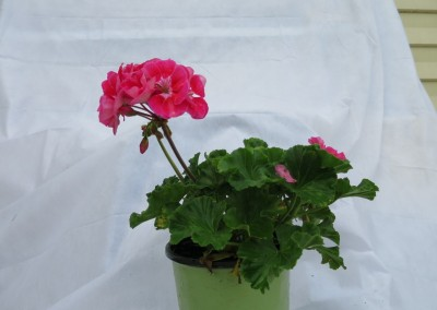 Geranium-assorted colors-great in pots-sun-part sun