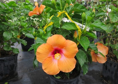 Hibiscus Orange Pride