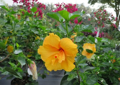 Hibiscus- spring summer fall flowers- full sun