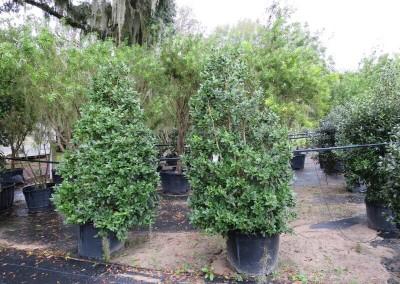 Holly- evergreen