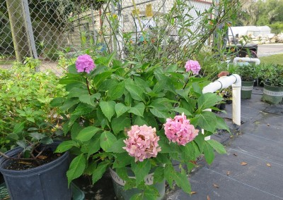 Hydrangea- shade lover- spring and fall flowers- assorted colors and growth habits