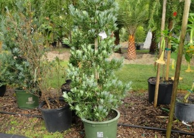 Icee blue podocarpus